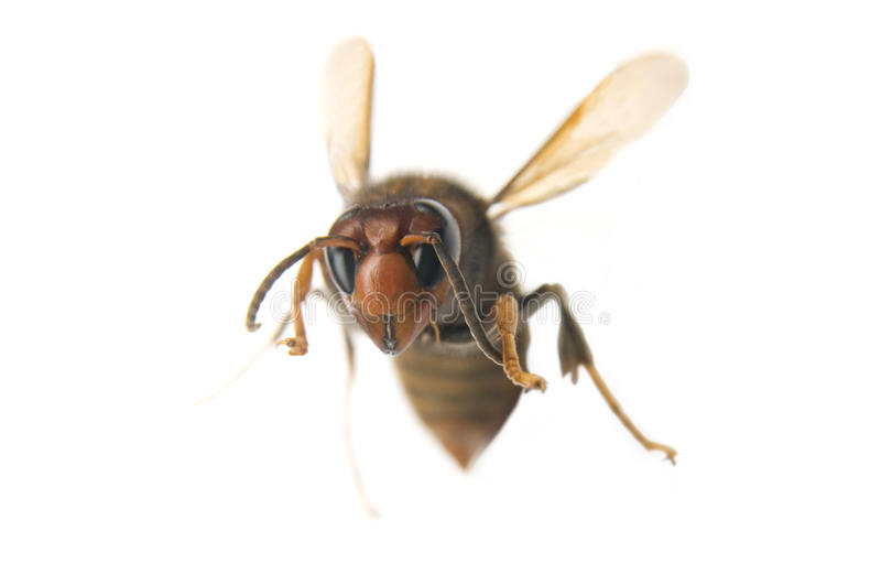 Flying wasp stock photo