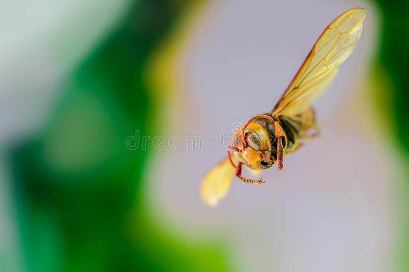 Flying Wasp, Insect royalty free stock photos