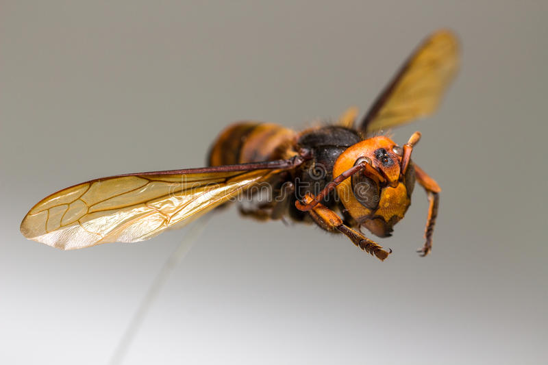 Flying Wasp, Insect royalty free stock image