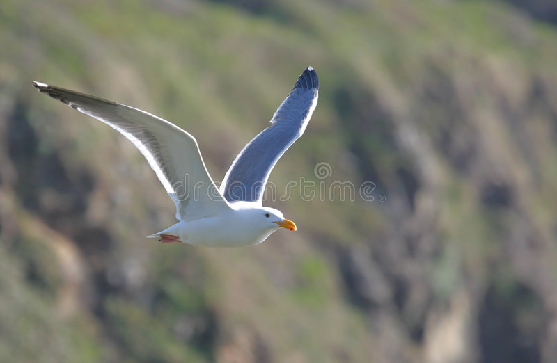 Flying Western Gull stock photo