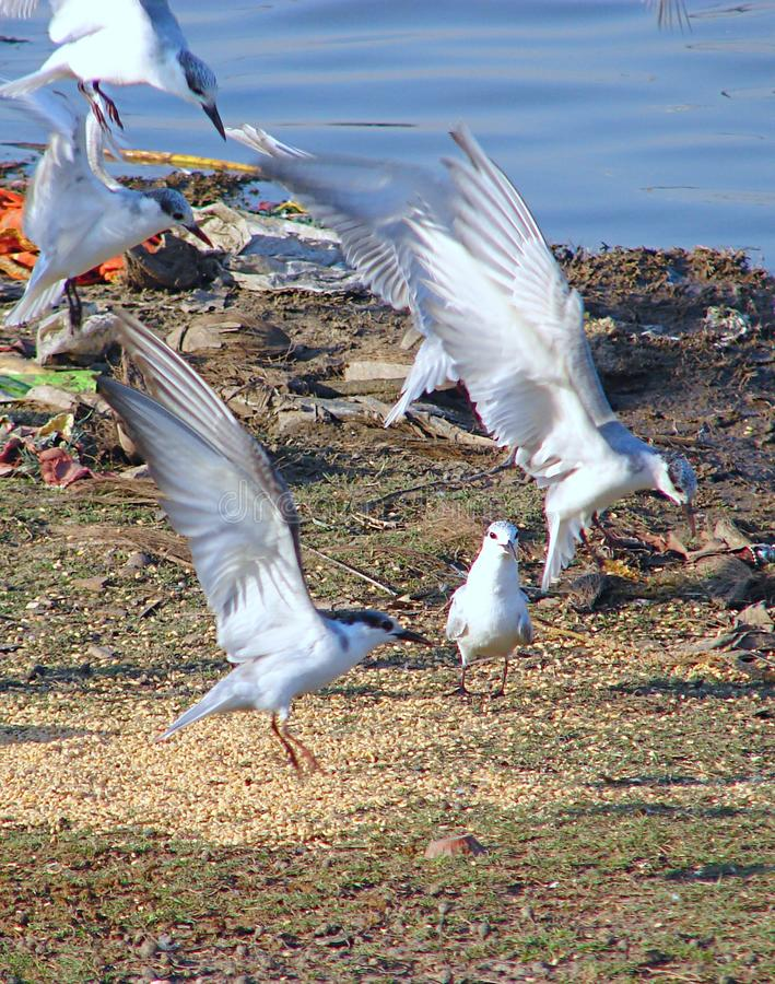 Flying Whiskered Terns at Randarda Lake, Rajkot. This is a photograph of flying whiskered terns, also known as chlidonias hybrida, captured at randarda lake royalty free stock photography