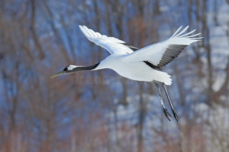 Flying White bird Red-crowned crane, Grus japonensis, with open wing, with snow storm, forest habitat in the background. Hokkaido, Japan, Asia royalty free stock photos