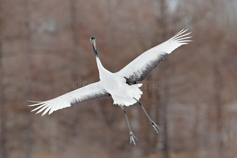 Flying White bird Red-crowned crane, Grus japonensis, with open wing, with snow storm, Hokkaido, Japan. Wildlife scene from the wi. Nter Japan. Cold winter with royalty free stock photo