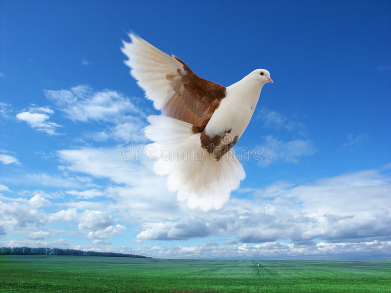 Flying white-brown pigeon. White-brown pigeon flying over green field and forest