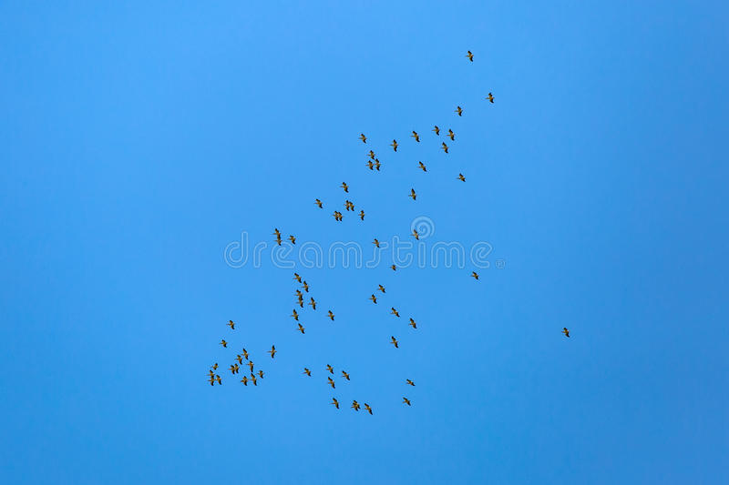 Flying white pelicans. Landscape photo of flying white pelicans under the blue sky stock images