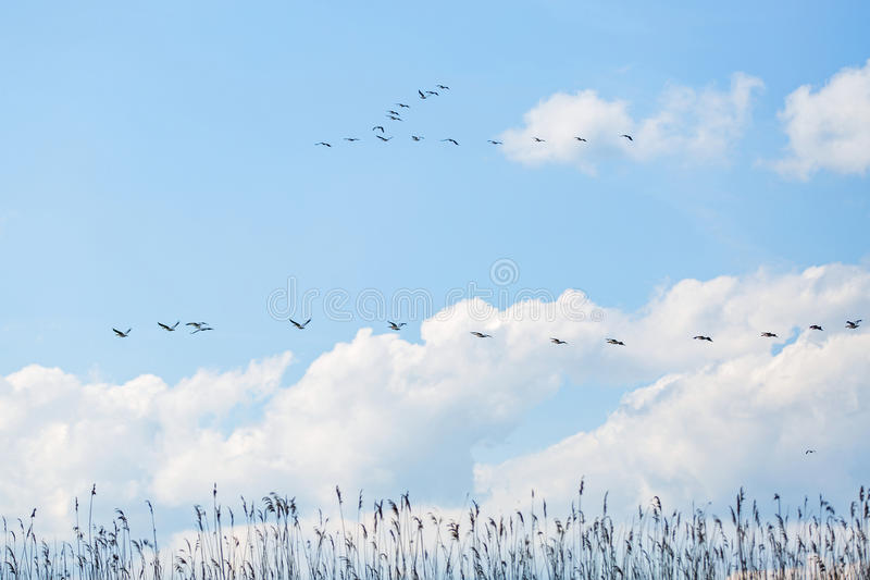 Flying white pelicans. Landscape photo of flying white pelicans under the cloudy blue sky stock image
