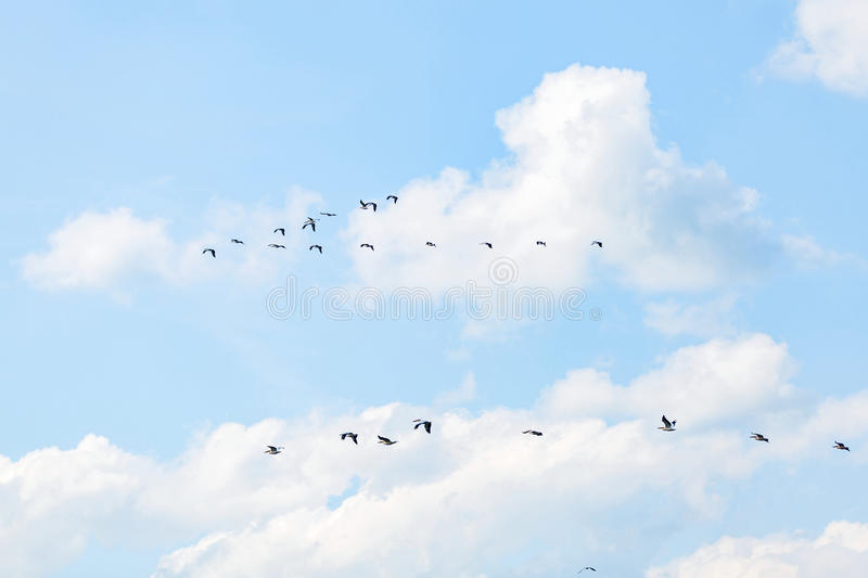 Flying white pelicans. Landscape photo of flying white pelicans under the cloudy blue sky stock images