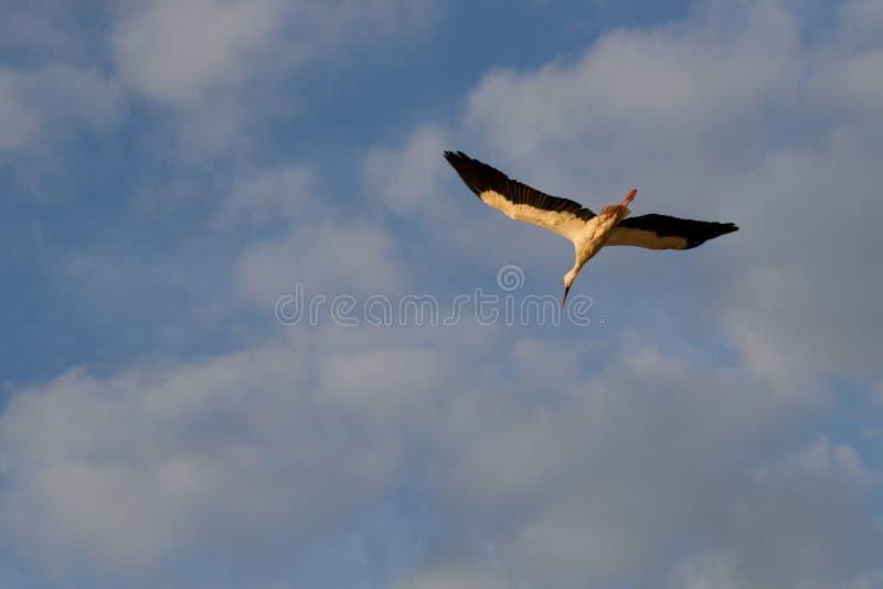 Download Flying white stork stock photo. Image of black, white - 10456168