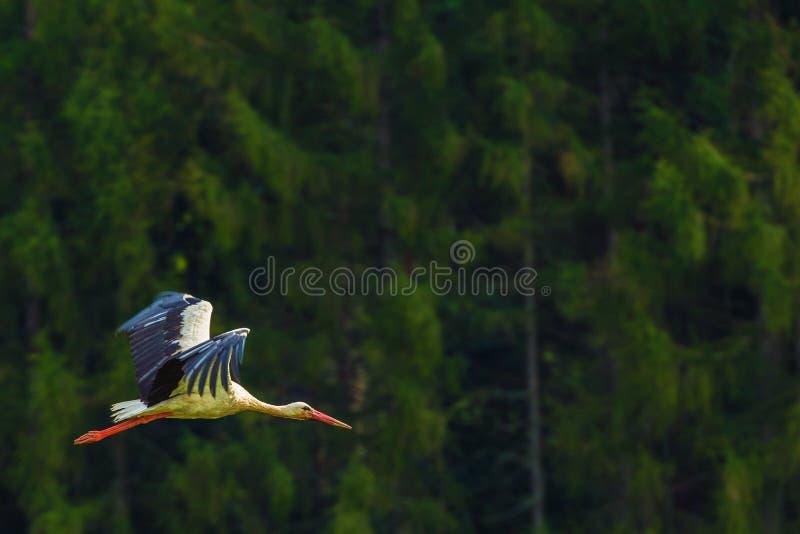 Flying White Stork Bird. Flying Large White Stork Bird. Wild Birds Photo Collection stock images