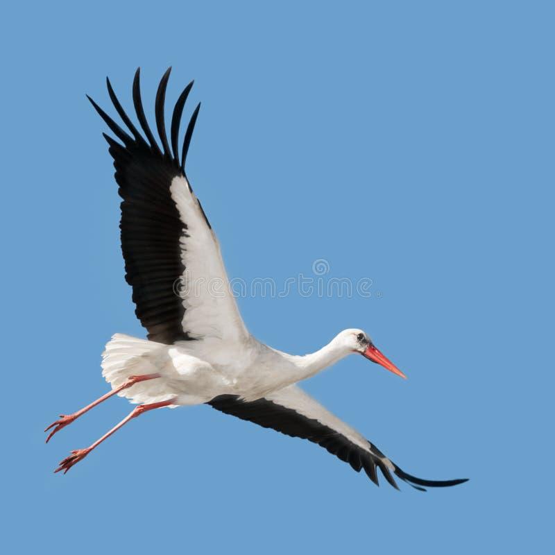 Flying white stork stock image