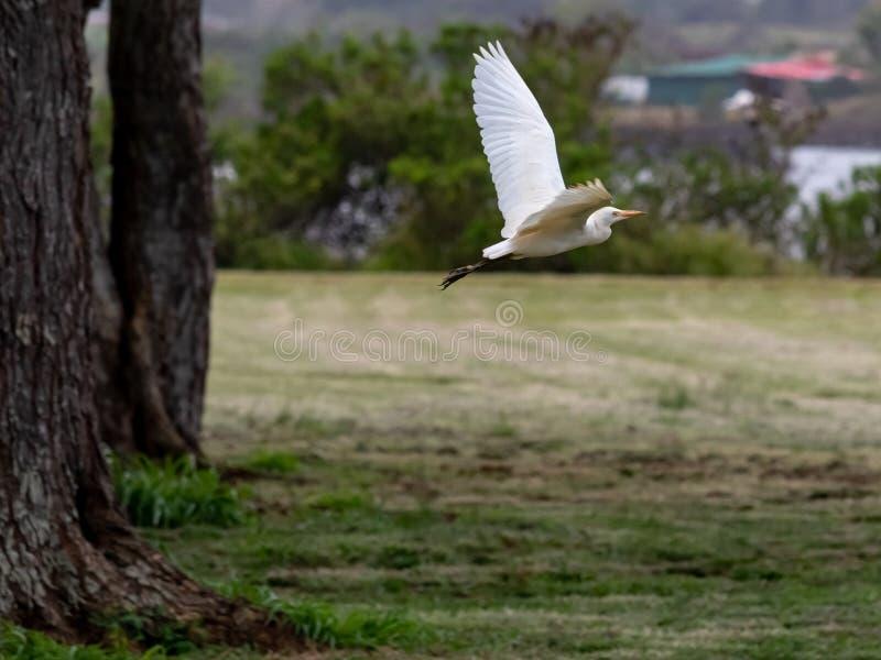 Flying Wild White Egret royalty free stock photos