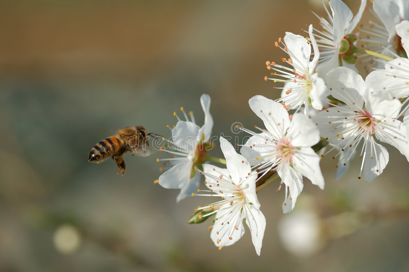 Flying worker bee royalty free stock images