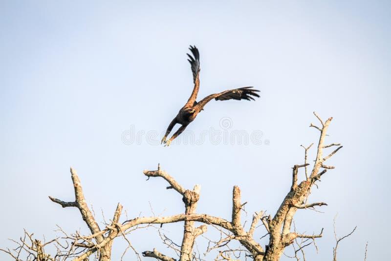 Download Flying Yellow-billed kite. stock image. Image of plumage - 83724523