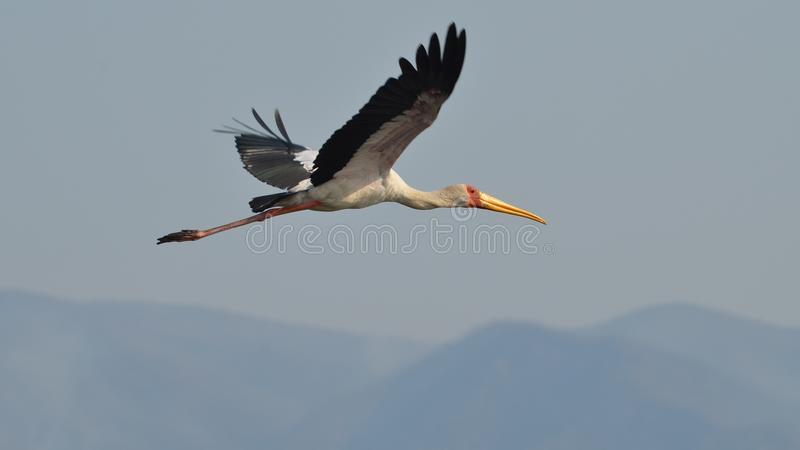 Flying yellow-billed stork. A beautiful yellow-billed stork flying along the shore of the Zambezi river royalty free stock image
