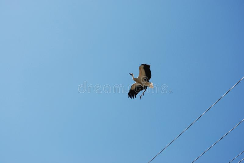 flying young stork stock photography