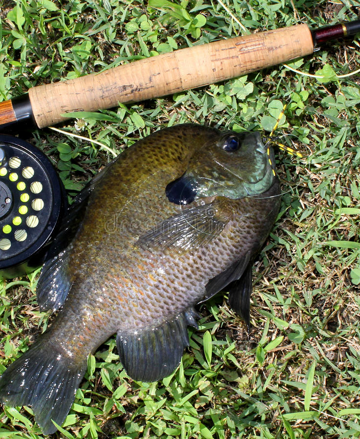 Flyrod Bluegill. Large bluegill with fyrod and reel royalty free stock images