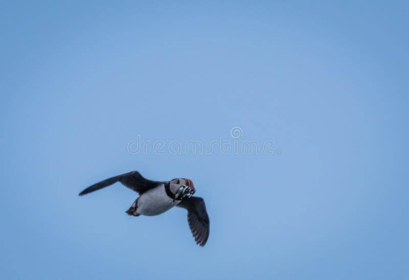 Flys di arctica del Fratercula della pulcinella di mare attraverso l'aria con un beakful del pesce d'argento fotografie stock