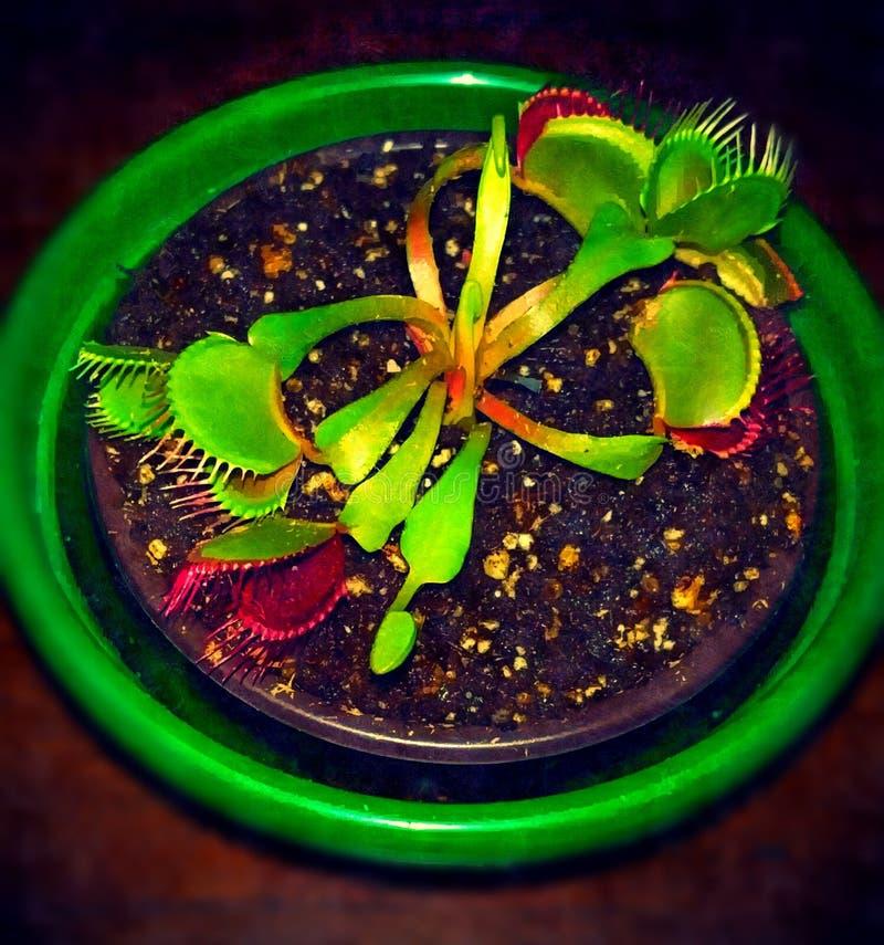 Flytrap της Αφροδίτης στοκ φωτογραφία με δικαίωμα ελεύθερης χρήσης