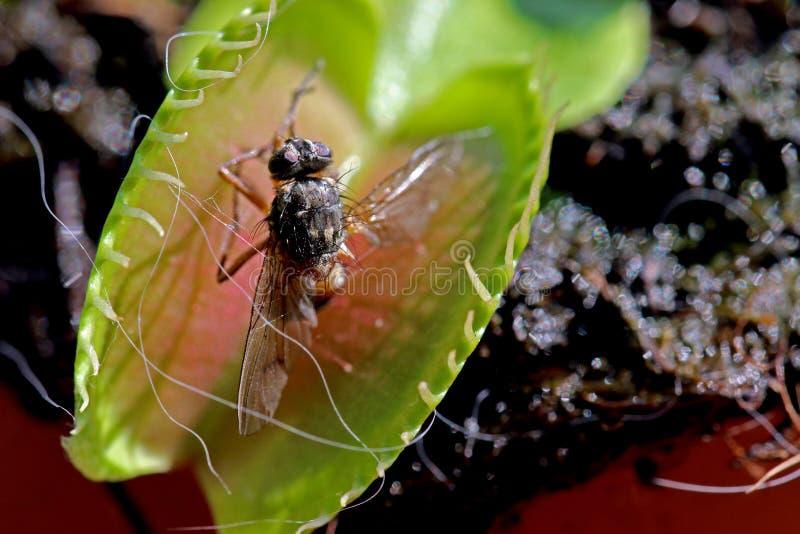 Flytrap Венера стоковые фото