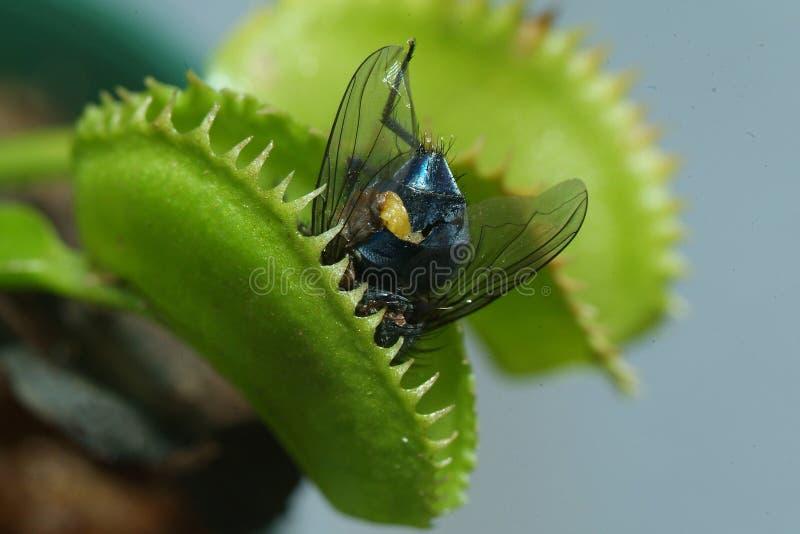 Flytrap Венеры стоковое фото