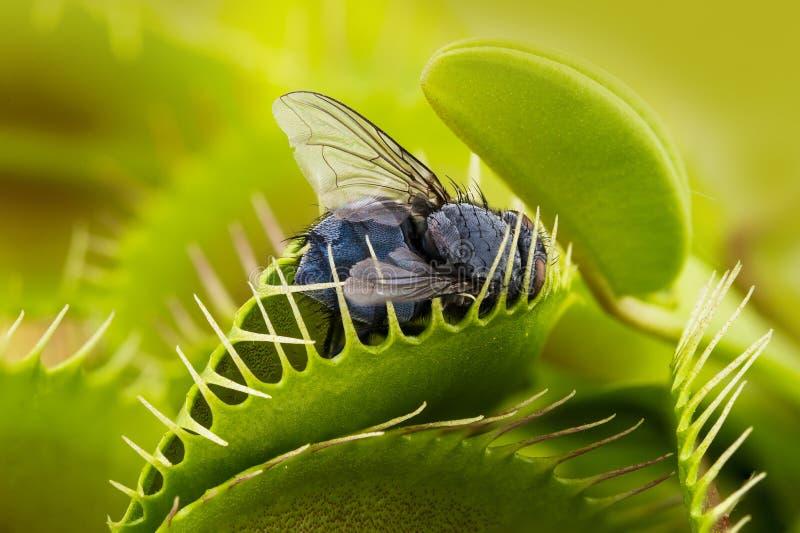 Flytrap van het Venus - Dionaea Muscipula royalty-vrije stock afbeeldingen