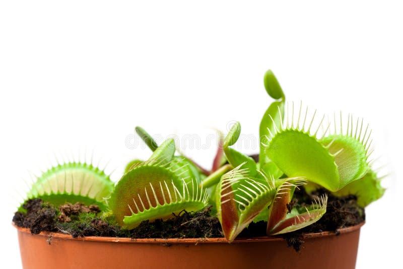 Flytrap van het Venus in een pot stock afbeelding