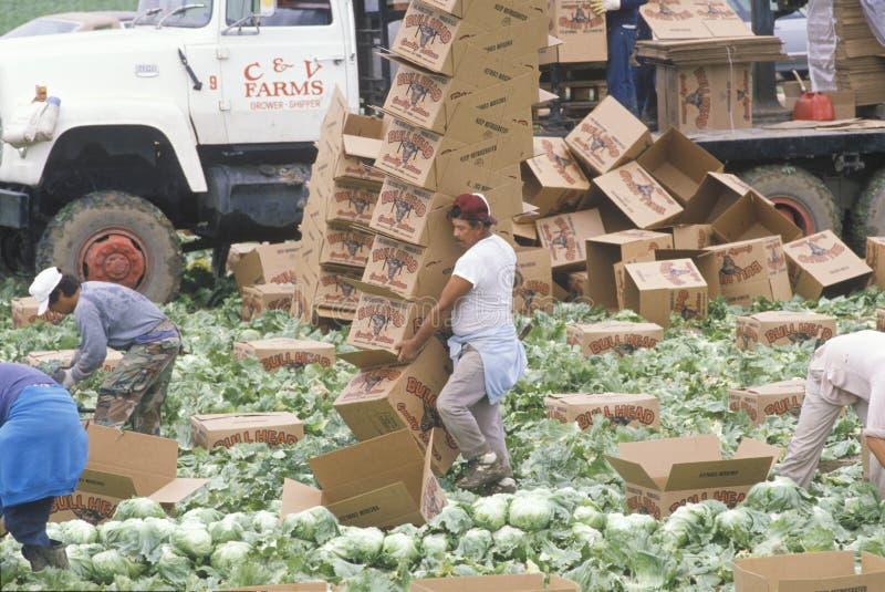 Flytta jordbruksarbetareskörd royaltyfria foton