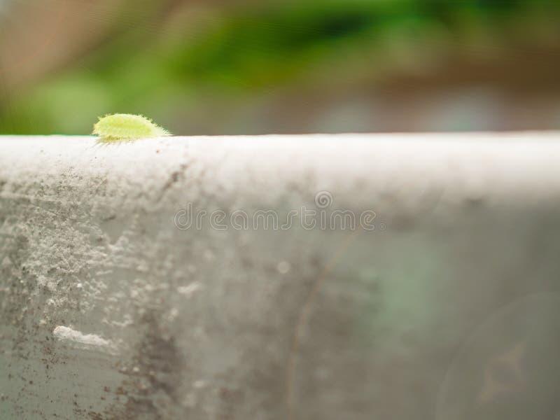 Flytta sig framåtriktat från långsamt gå för grön kulaparasalepida på royaltyfria foton