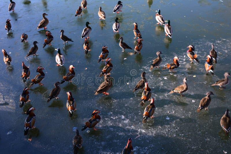Flyttfåglar i Beihai parkerar arkivfoton