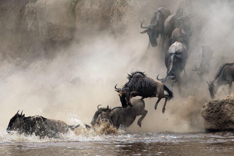 Flyttning av wildebeesten fotografering för bildbyråer