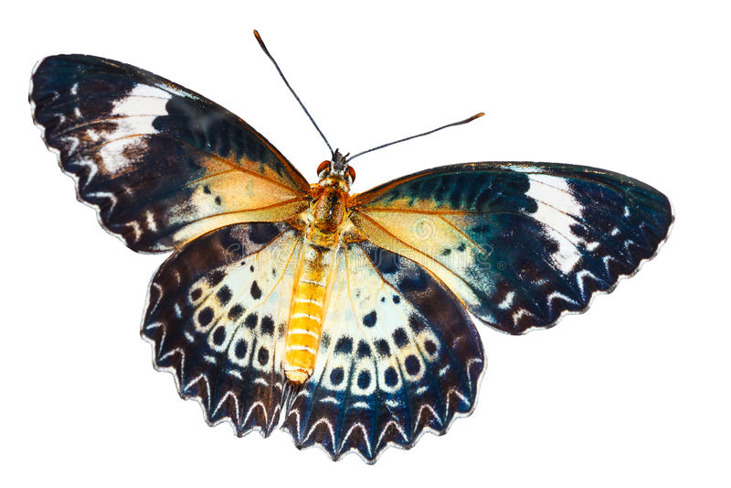 F?mea da borboleta do lacewing do leopardo no fundo branco fotos de stock royalty free