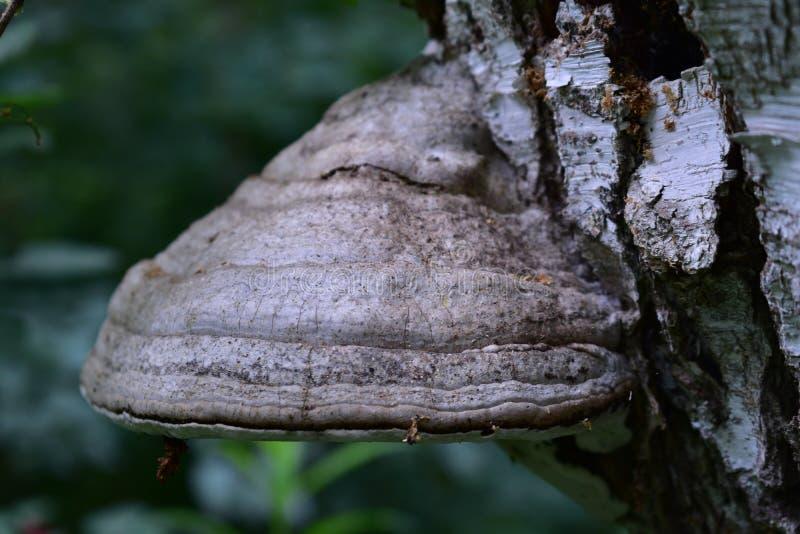 Fnöskechampinjon på en vit björk i skogen, långsiktig svamp som sättas fast på trädet royaltyfria foton