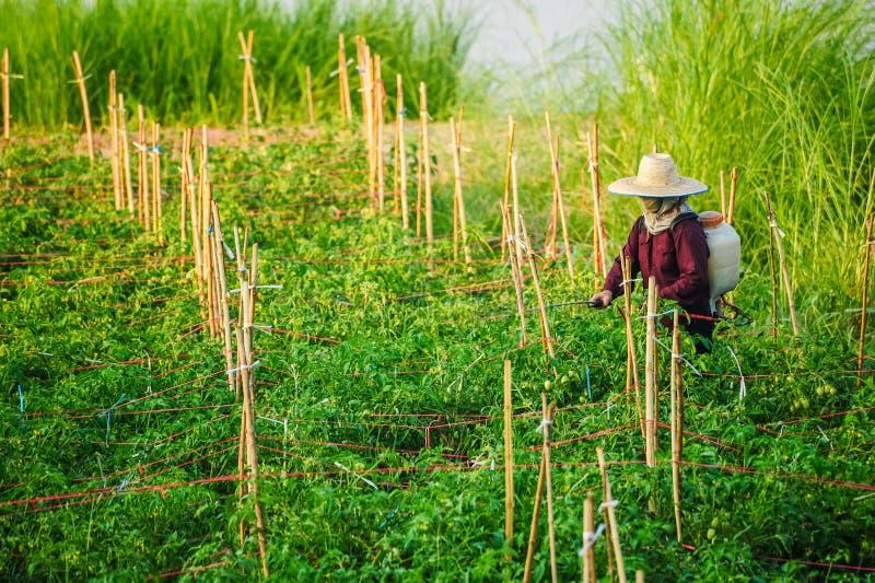 FN-identifierad kvinnabonde som långt besprutar unsecticide i grönsak royaltyfria foton
