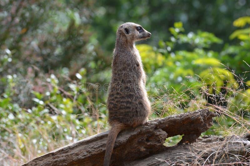 Fnatasticprofiel van een Meerkat stock fotografie