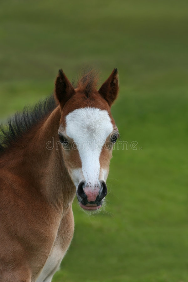 foal άγρια περιοχές βουνών στοκ εικόνες