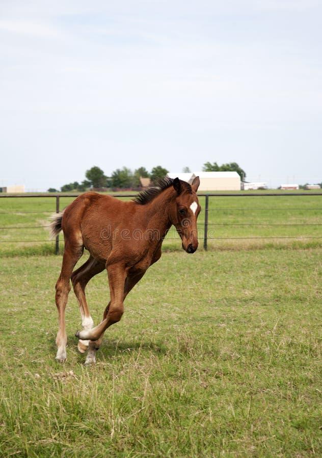 Foal εικόνας χρώματος που τρέχει στον τομέα Thoroughbred άλογα κάστανων στοκ φωτογραφίες
