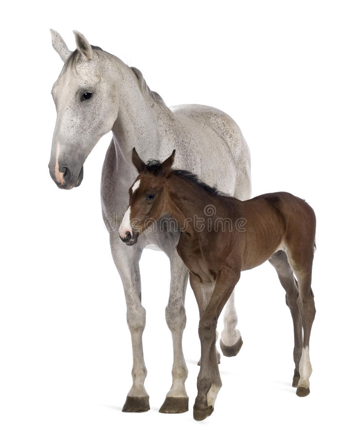 foal η στάση φοράδων της στοκ φωτογραφία