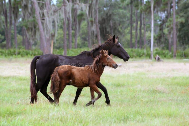foal πεδίων φοράδα στοκ εικόνες