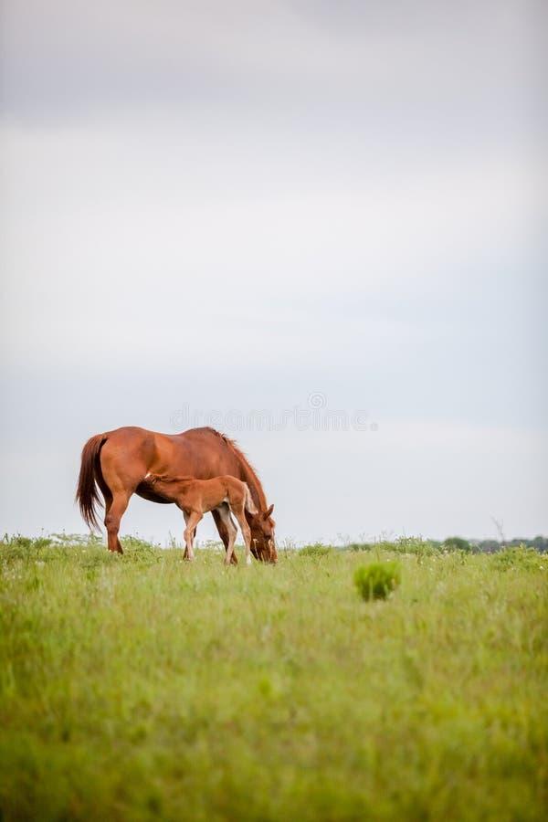 Foal περιποίηση στο λιβάδι στοκ εικόνα με δικαίωμα ελεύθερης χρήσης