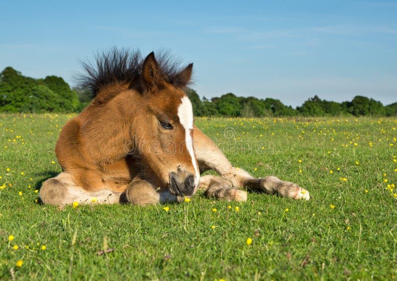 Foal πόνι αλόγων στοκ εικόνες