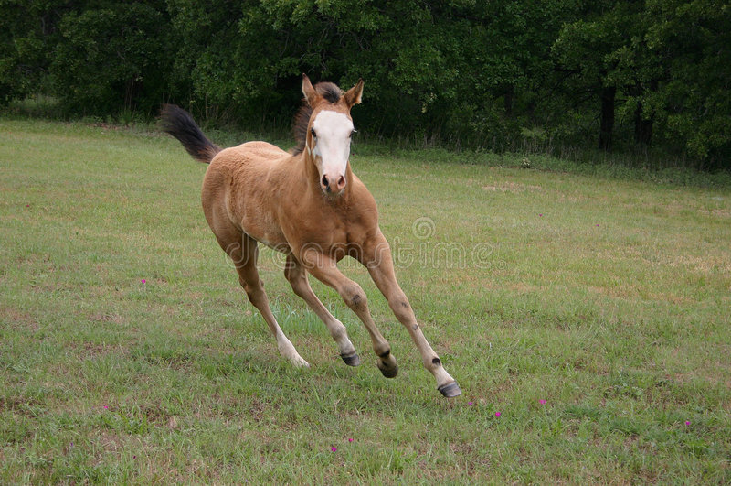 foal τρέξιμο στοκ φωτογραφίες