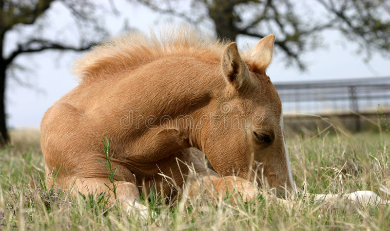 foal ύπνος στοκ φωτογραφίες