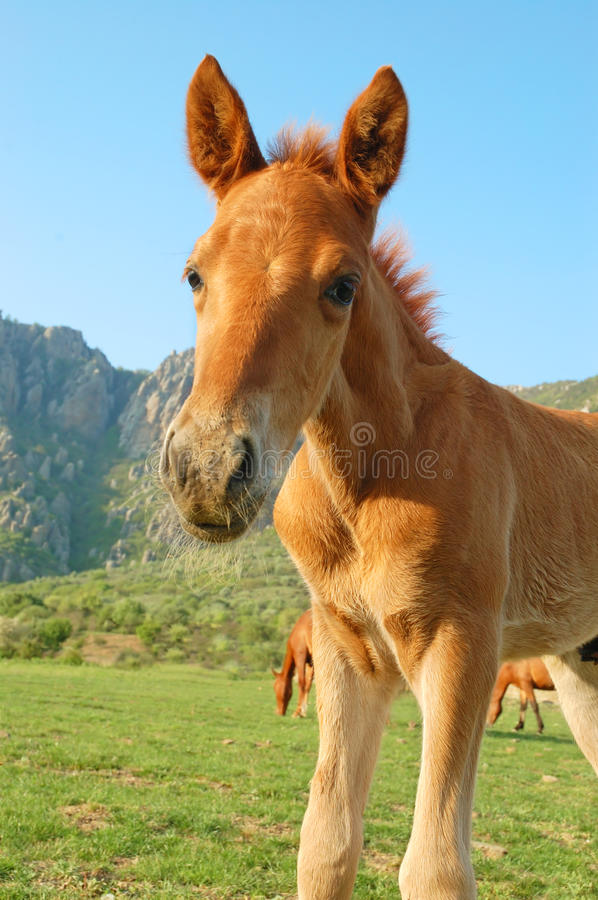 Download Foal stock image. Image of mammal, beauty, mane, outdoors - 10757387