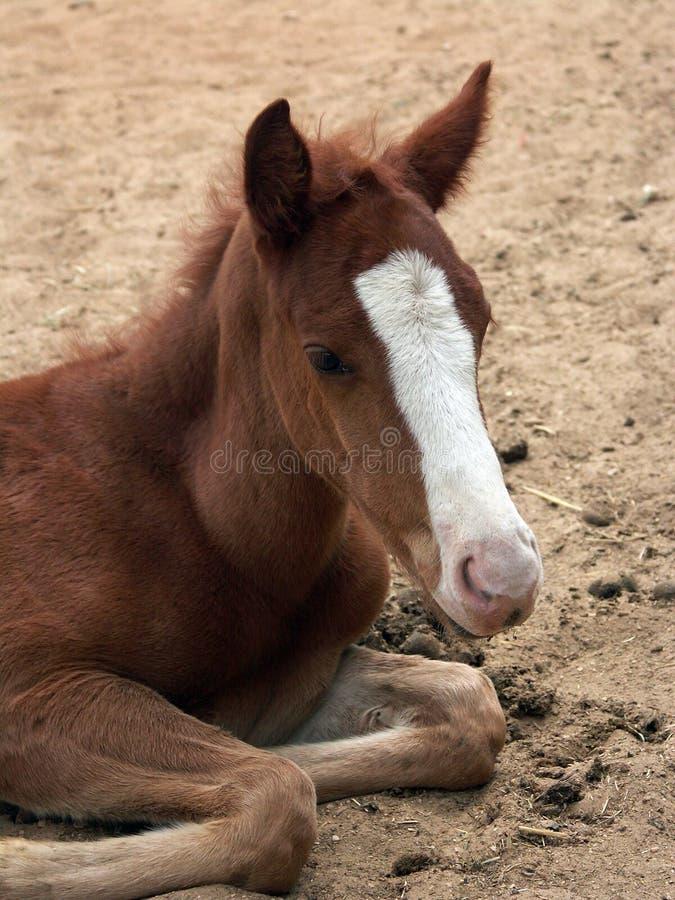 foal στοκ εικόνα