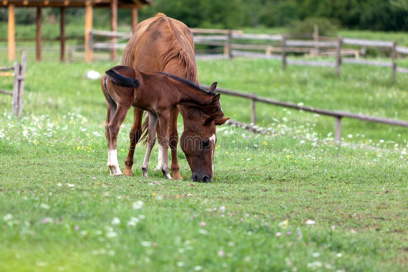 Download Foal Royalty Free Stock Images - Image: 23984099