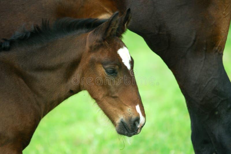 Foal immagini stock