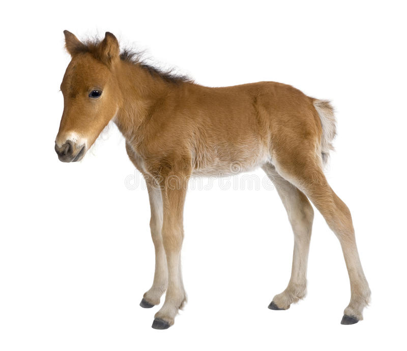 Download Foal (4 weeks old) stock image. Image of indoors, white - 9773045
