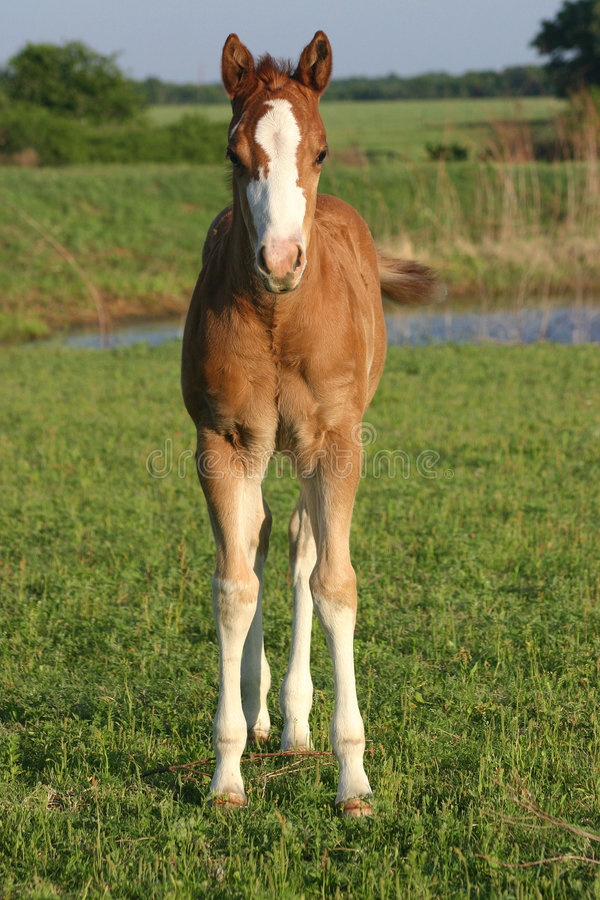 foal στοκ εικόνες με δικαίωμα ελεύθερης χρήσης