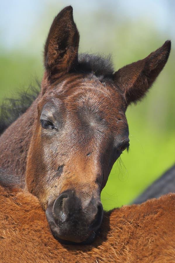 Download Foal stock photo. Image of farm, little, ganger, mane, pony - 804614