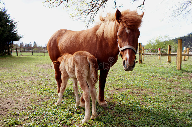 Foal royalty free stock images